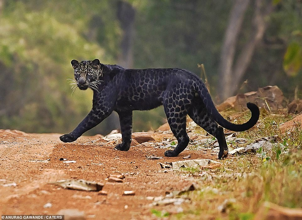 Rare BLACK leopard is spotted crossing the road while hunting deer in Indian national park 5