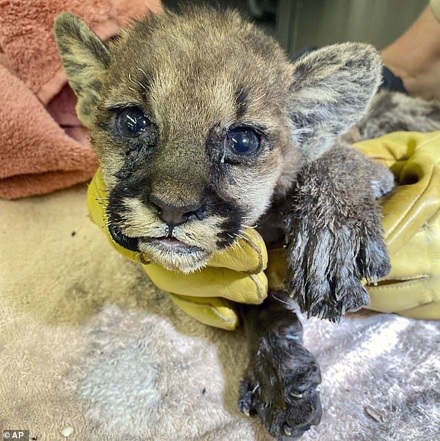 Mountain lion cub is rescued from the California fires and looked after by vets 21