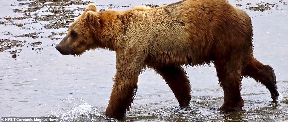 Remarkable pictures show how Alaskan bears get fat before hibernation 2