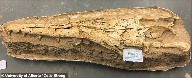 New mosasaur species is discovered in Morocco that lived more than 66 MILLION years ago 2