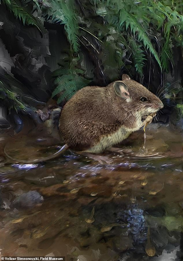 Two new species of aquatic mice discovered in the Congo 12