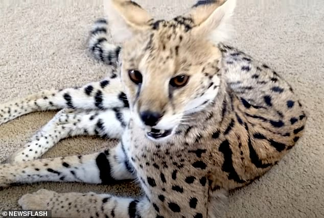French couple pay thousands for Savannah cat but get a TIGER instead 10