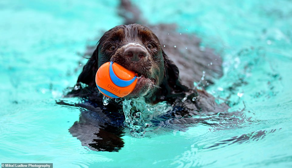 Anyone for doggy paddle? 800 pooches and their owners take to the pool for annual swim 1