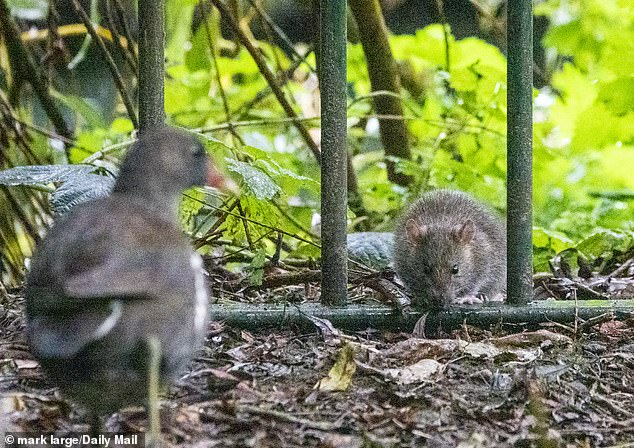Covid-19 lockdown sees rats flock to suburban homes 12