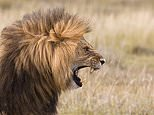 Animals: Lions have their own unique roars that individuals use to recognise each other, study finds 8
