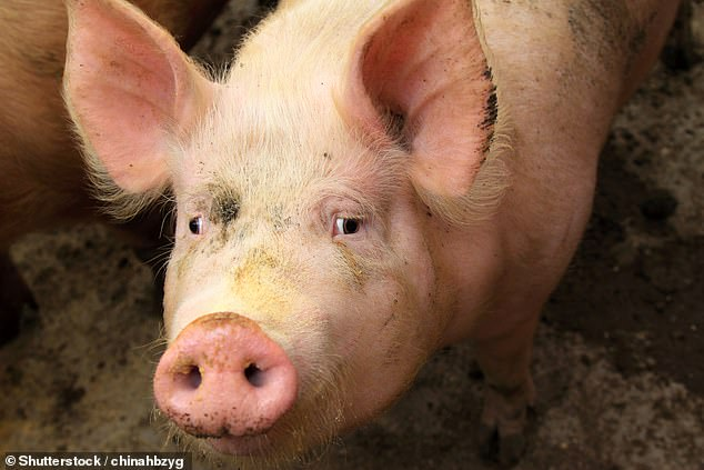 Coronavirus: strain that causes severe diarrhoea and vomiting in pigs 'could spread to humans' 6