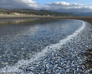 Half a MILLION fish wash up on British beach in desperate bid to escape hungry seals and dolphins 1