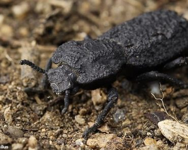 Diabolical ironclad beetle benefits from ultra-resistant exoskeleton 3