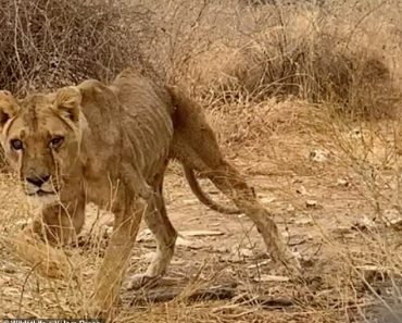 Sickening footage shows emaciated lions and endangered animals left to starve in African zoo 6
