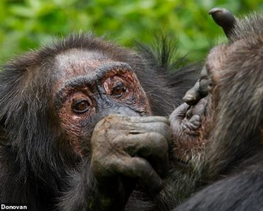 Chimps get fussier about friends as they get older - like humans do 2