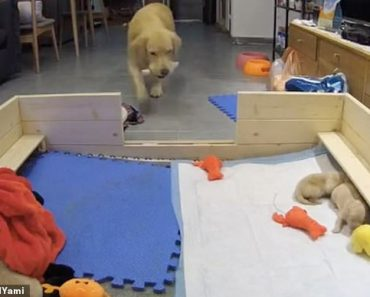 Dog parent: Mother golden retriever tries to console her whining puppies by bringing them her toys  4